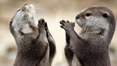 This photograph is called Happy Praying Otters