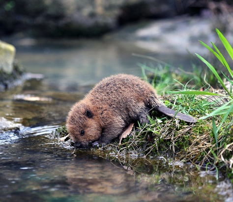 angelcraft-crown-world-heritage-and-conservation-meet-kiwis-a-little-orphaned-beaver-preparing-himself-to-build-a-dam-by-hydrating-his-body
