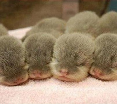 crown-conservation-photo-1-zen-photography-los-moscateros-the-four-muskateers-otters-as-babies
