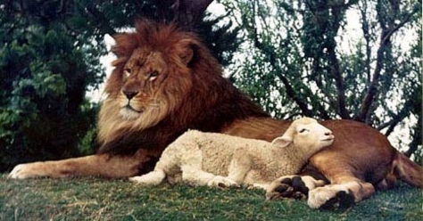 the-lion-lays-down-with-the-lamb