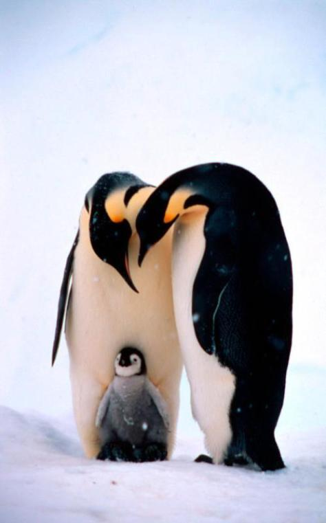 two-emperor-penguins-and-a-chick