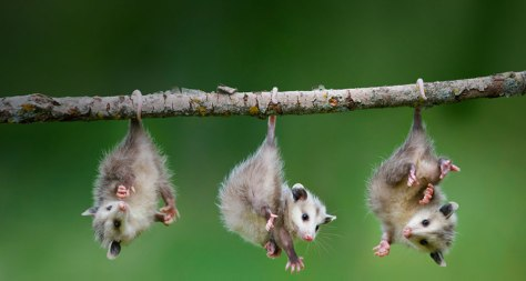 acwhc-angelcraft-crown-world-heritage-conservation-corpvs-baby-opossums-hanging-by-their-tails