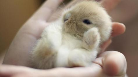 acwhc-angelcraft-crown-world-heritage-conservation-corpvs-crown-natural-wildlife-santuraies-and-marine-sancturaries-a-newborn-sandy-white-short-eared-netherland-dwarf