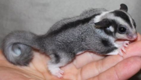 acwhc-angelcraft-crown-world-heritage-conservation-corpvs-crown-natural-wildlife-santuraies-and-marine-sancturaries-a-pepper-tailed-atlantic-sweet-tooth-sugar-glider