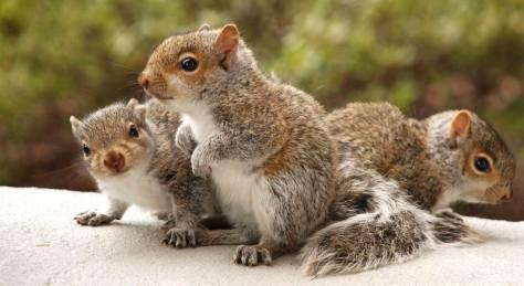 acwhc-angelcraft-crown-world-heritage-conservation-corpvs-crown-natural-wildlife-santuraies-and-marine-sancturaries-baby-squirrels
