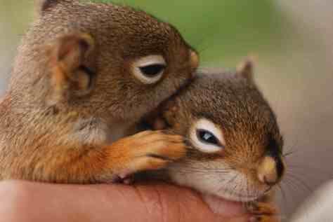 acwhc-angelcraft-crown-world-heritage-conservation-corpvs-crown-natural-wildlife-santuraies-and-marine-sancturaries-these-are-two-short-eared-chesnut-squirrles-2