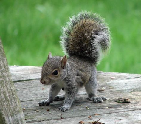 acwhc-angelcraft-crown-world-heritage-conservation-corpvs-crown-natural-wildlife-santuraies-and-marine-sancturaries-this-is-a-bushy-tailed-squirrel