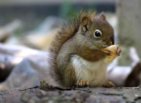 acwhc-angelcraft-crown-world-heritage-conservation-corpvs-crown-natural-wildlife-santuraies-and-marine-sancturaries-this-is-a-white-tummied-dwarf-squirrel