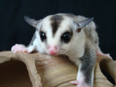 acwhc-angelcraft-crown-world-heritage-conservation-corpvs-crown-natural-wildlife-santuraies-and-marine-sancturaries-v-necked-sugar-gliders