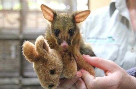 acwhc-angelcraft-crown-world-heritage-conservation-corpvs-taronga-wildlife-hospital-took-care-of-this-baby-brushtail-possum