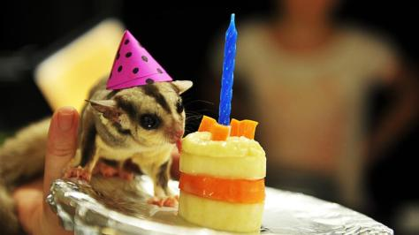 acwhc-dot-the-sugar-glider-celebrates-the-territory-wildlife-parks-25th-birthday-by-eating-his-cake