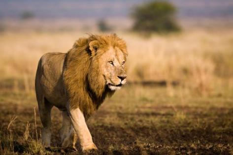 us-forest-service-research-guiding-african-lion-conservation